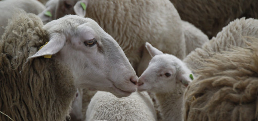Vegan Ethics - Sheep Wool